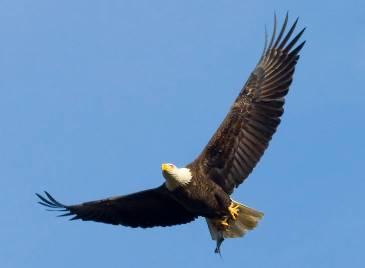 Im Bald Eagle Flying
