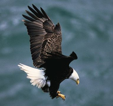 Animals for Kids Bald Eagle