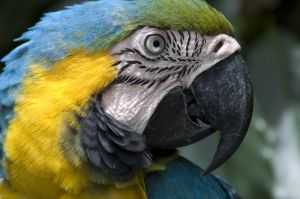 Animals for Kids: Blue and Yellow Macaw Bird