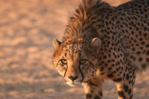 cheetah for kids learn about the ultra fast big cat