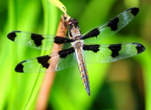 Animals for Kids: Dragonfly