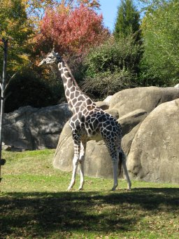 Giraffe for kids: Learn all about the tallest animal on earth