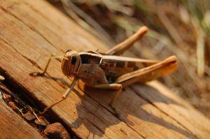 Animals for Kids: Grasshopper