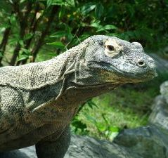 Animals for Kids: Komodo Dragon