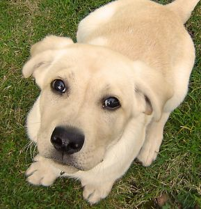 Labrador Retriever for Kids: Learn about the popular dog and great pet