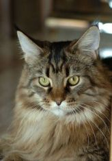 Animals For Kids Maine Coon Cat