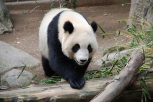 Giant Panda for Kids: Learn about the cuddly looking bear.