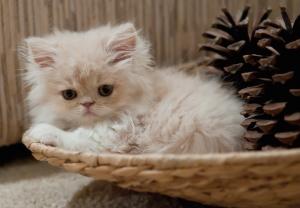 Animals Persian Cat