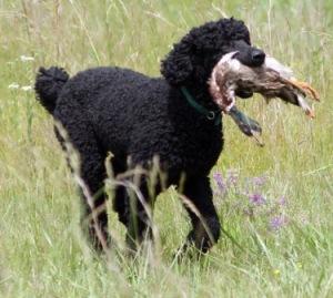 animals for kids poodle dog