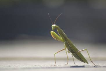 Praying Mantis: Learn about the giant insect predator.
