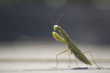 Green Praying Mantis Eyes And Head
