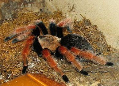 Animals for Kids: Tarantula