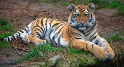 Animals for Kids: Tiger