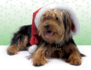 Animals For Kids Yorkshire Terrier Dog