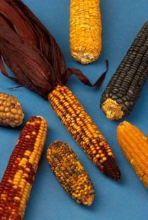 History: Native American Agriculture and Food for Kids