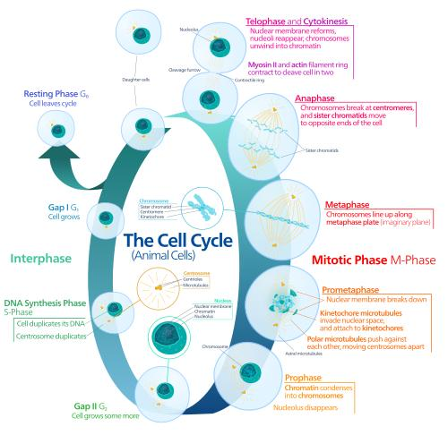 Biology For Kids Cell Division And Cycle