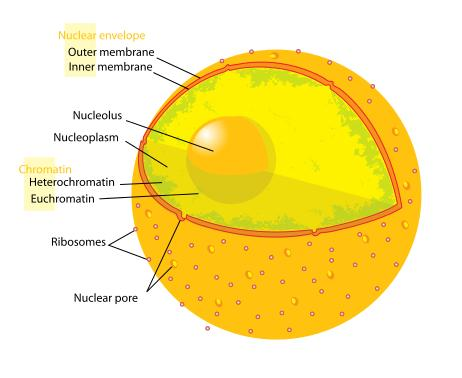 Biology For Kids Cell Nucleus