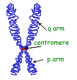 external image chromosome.png