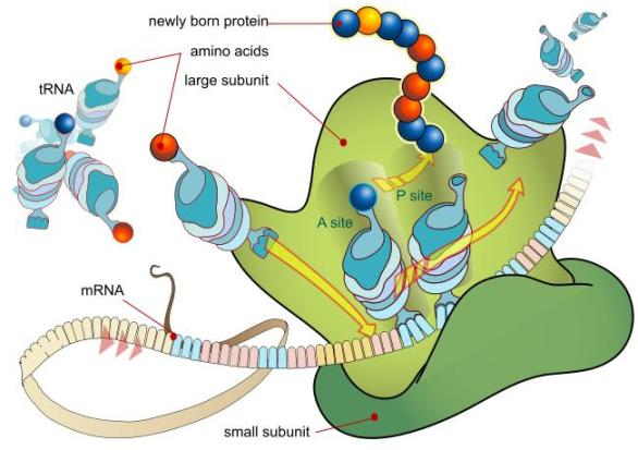 Biology for Kids: Proteins and Amino Acids
