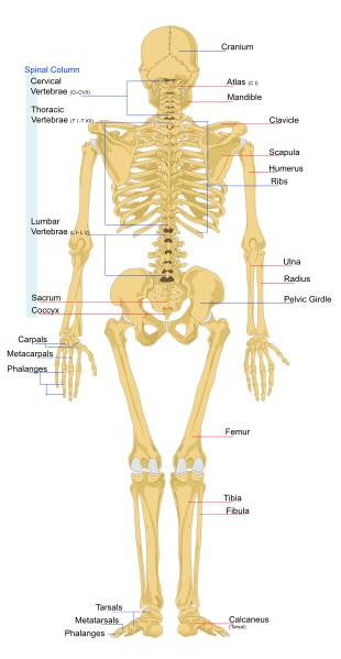 Biology for Kids: List of Human Bones