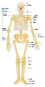 science for kids: bones and human skeleton, Skeleton