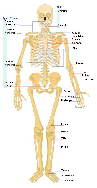 Biology For Kids List Of Human Bones