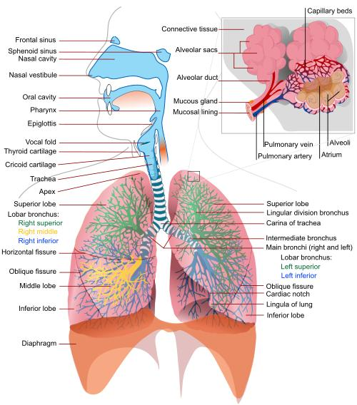 Science For Kids Breathing And The Respiratory System