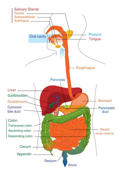 Science For Kids  The Digestive System