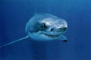 Great white shark in oceanOcean Ecosystem Animals