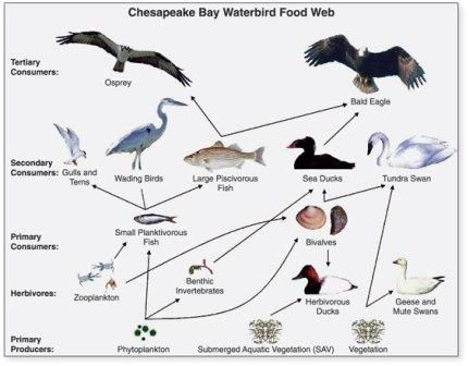 Example of a food web using birds