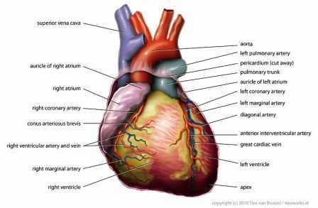 Science for kids cardiovascular system the ccuart Images